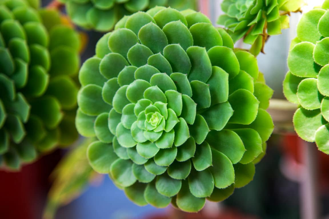 Plantes saxicoles : 8 plantes pour habiller les pierres