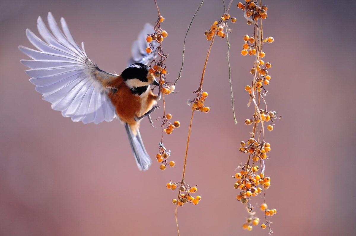 Oiseaux : 10 arbustes et buissons pour les accueillir