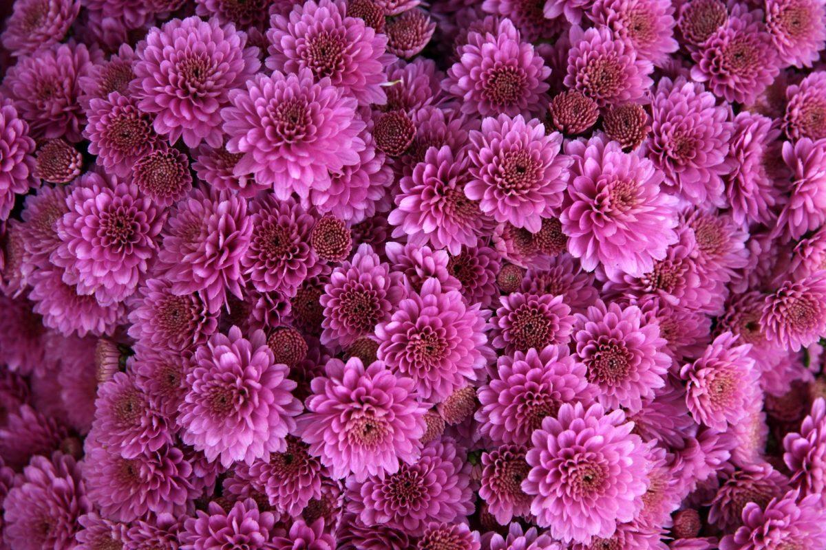 Chrysanthèmes : plantation, taille et entretien