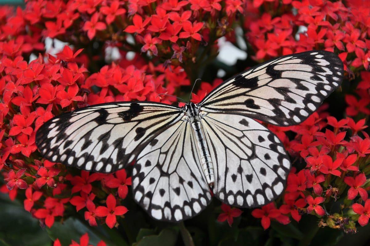 Papillons : 10 espèces courantes du jardin