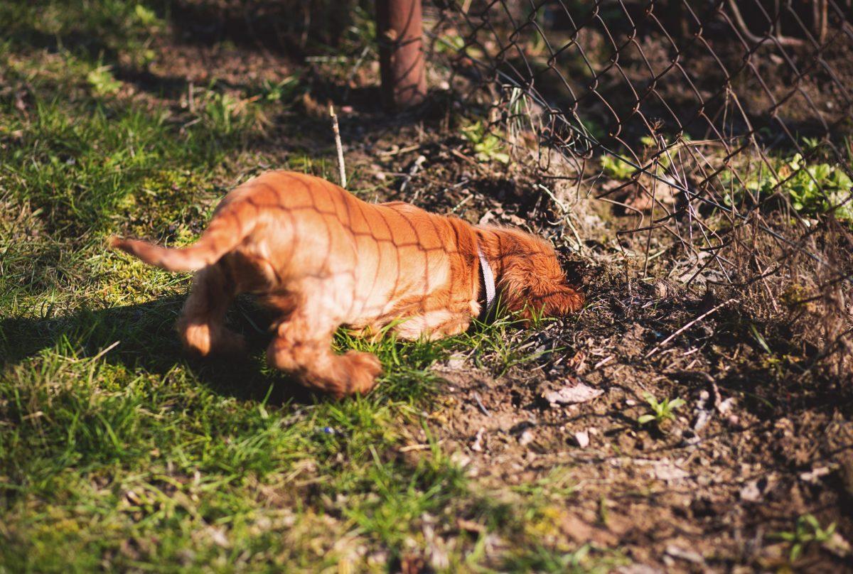 Chien : 6 astuces pour l'empêcher de creuser des trous dans le jardin