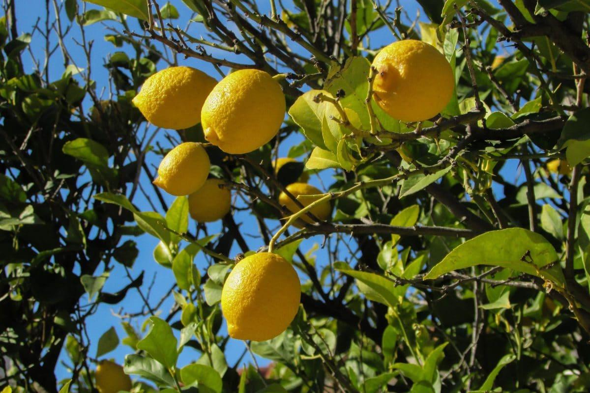 Citronnier : comment planter ce fruitier acidulé ?