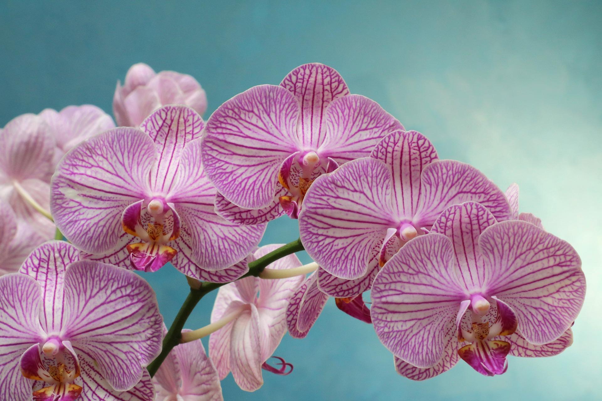 Orchidée phalaenopsis : conseils, entretien, rempotage et floraison