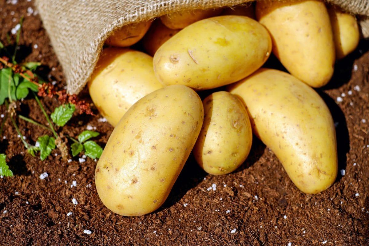 Pomme de terre : toutes les astuces pour réussir sa plantation