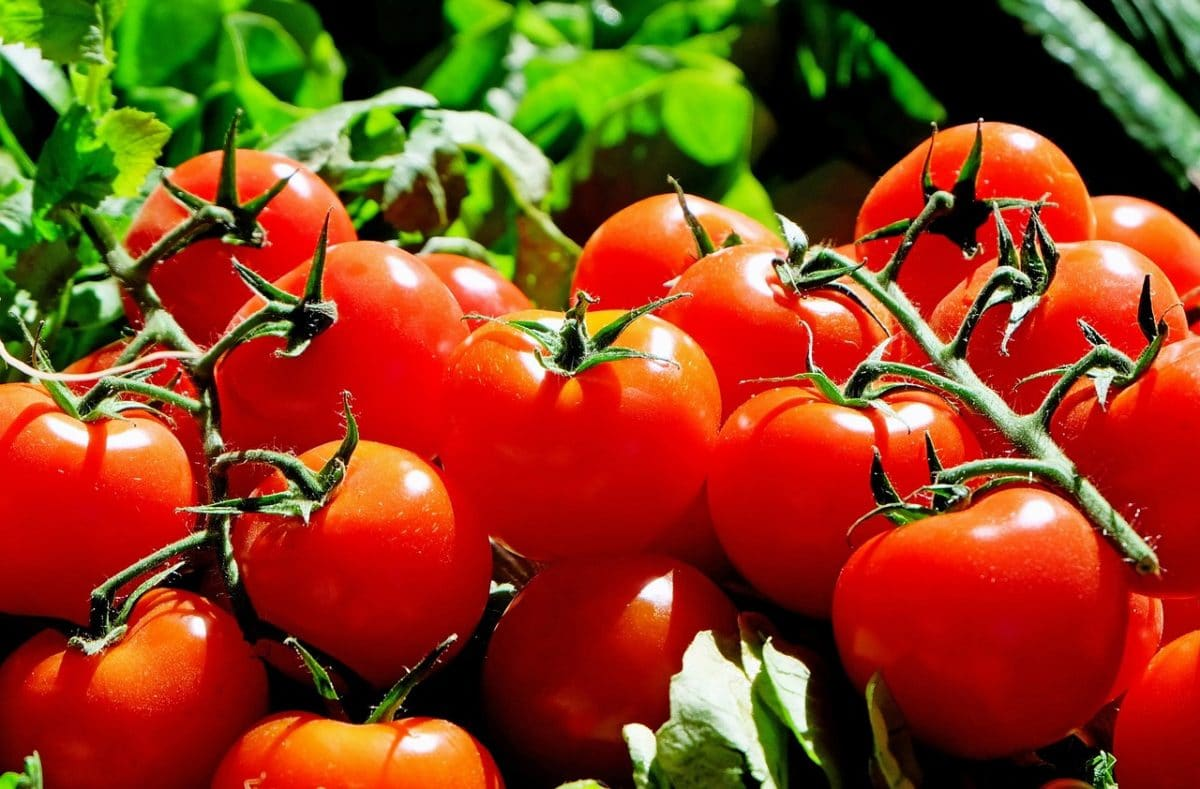 Tomates : comment réussir sa plantation