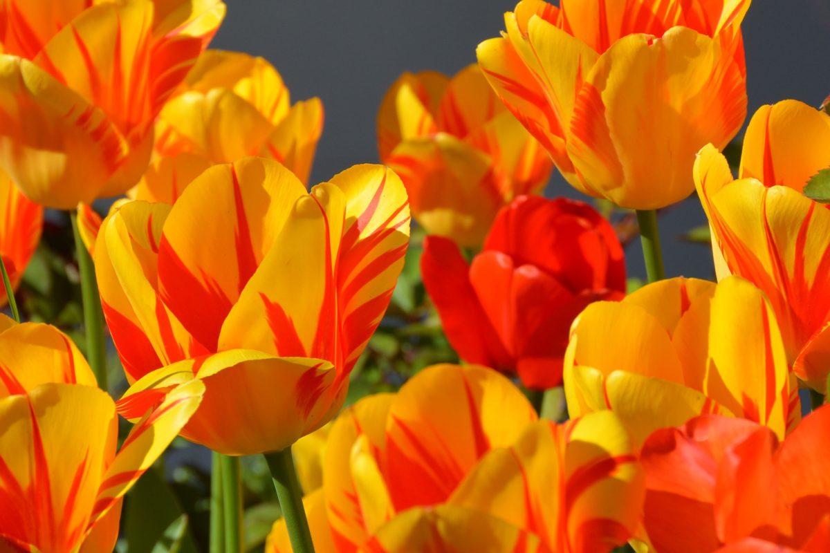 Tulipes : plantation et entretien