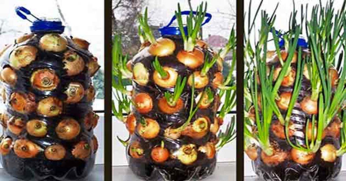 Comment cultiver les oignons à la maison ?