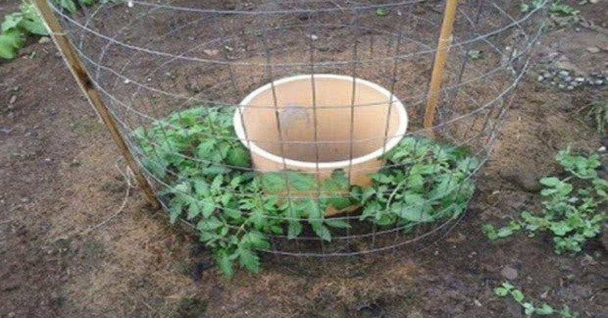 Une astuce originale pour faire pousser des tomates chez vous