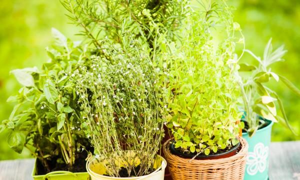 Découvrez 8 variétés de sauge à jardiner